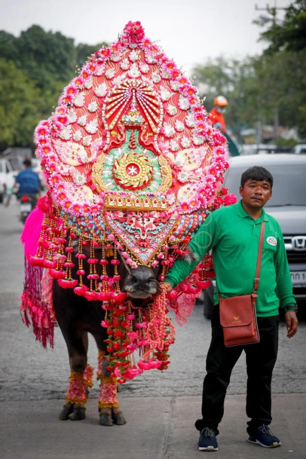 A Farmer Holds Large Buffalo Adorned With Flowers And Head Gear Before The Parade