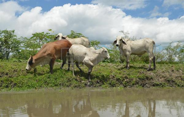 Photograph provided Sept. 12 showing a herd of cows at the shores of the Pijiño wetlands in Mompox, Colombia, Sept 8, 2018. EPA-EFE/Juan Carlos Gomi