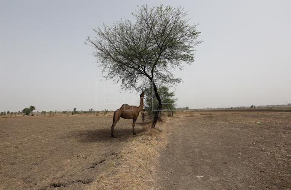 Camels graze on fallow agricultural fields near Sangar in Madhya Pradesh, India, May 16, 2018.  EPA-EFE/HARISH TYAGI ATTENTION: For the full PHOTO ESSAY text please see Advisory Notice epa06803807
