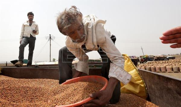 Indian farmer Ghanshayam handles his chana (gram) produce as he waits for it to be weighed and sold at the Mandi or a stock house which is governed by the MP Mandi Board, a state agency near the Sagar, Madhya Pradesh India, May 16, 2018. EPA-EFE/HARISH TYAGI ATTENTION: For the full PHOTO ESSAY text please see Advisory Notice epa06803807
