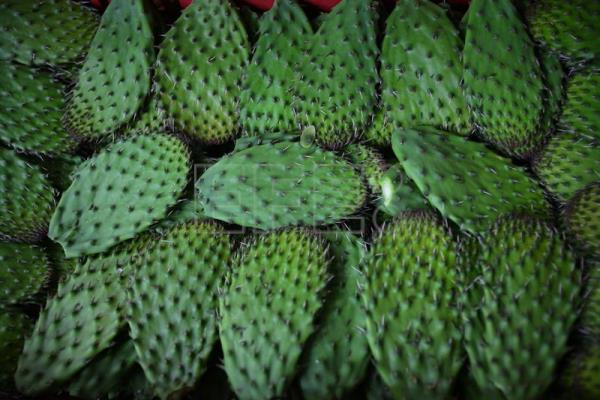 Nopal: Mexican cultural symbol with medicinal and agricultural uses