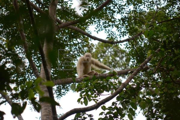 A handout photo made available by the Borneo Orangutan Survival Foundation shows female albino orangutan Alba on a tree after members of the BOSF released her into the wild in the Bukit Baka Bukit Raya National Park, Borneo, Indonesia, Dec. 19, 2018. EPA-EFE/BOSF/INDRAYANA/HANDOUT