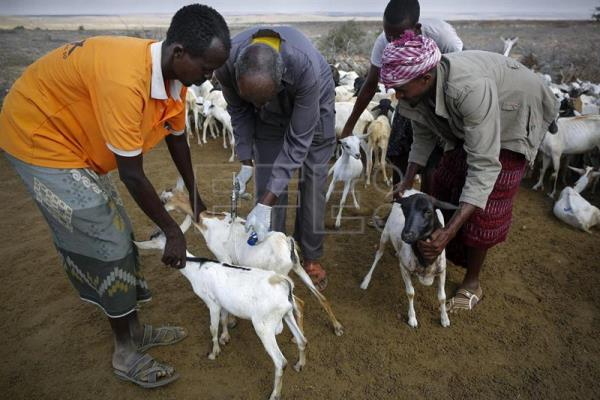 Photo provided on July 11, 2017 showing a veterinarian injecting vitamins into a flock of sheep in Qardho, Somalia on March 25, 2017. EFE/Dai Kurokawa