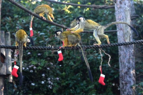 London Zoo At Christmas.Animals At London Zoo Receive Christmas Treats Presents