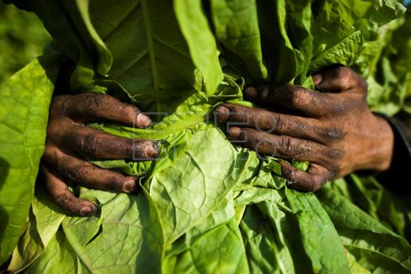 Japanese company produces fastest vaccines using tobacco leaves