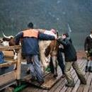 Bavarian mountain farmers load their cattle onto two boats tied together to bring the animals back from their summer pastures over the Koenigssee lake, in Koenigssee, Germany, Oct. 7, 2017. EPA-EFE/CHRISTIAN BRUNA