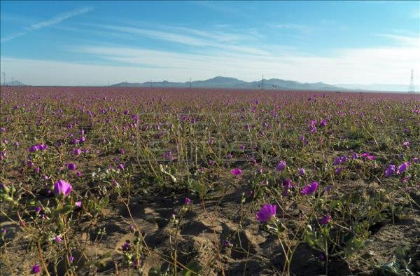 Undated photograph of northern Chile's Atacama desert, the world's driest desert, which is blooming in the wake of unusual rains earlier this year. EFE/Chilean National Tourism Service