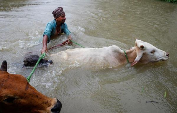 A man crosses flood water with his cattle at Topa village in Saptari district, Nepal, Aug. 12, 2017. EPA/NARENDRA SHRESTHA