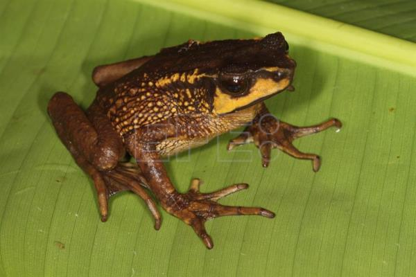 Photo taken during July 2017 of the Carchi Andes toad, believed extinct in Ecuador for more than 30 years, but which has been rediscovered by a group of researchers in a joint project of San Francisco University of Quito (USFQ) and the Natural History Museum, London. EFE/Gabriela Bittencourt
